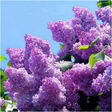 buchet de liliac de florii