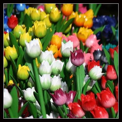lalele-multicolore memo laleaua pus roth